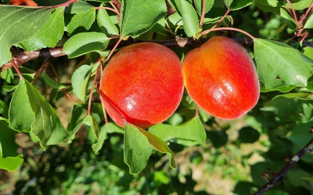 Le albicocche: Il Frutto più amato dell'estate